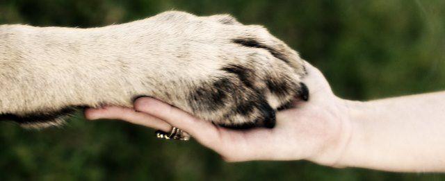 Patte de Canidé dans une main d'Humain pendant la garde d'animal.